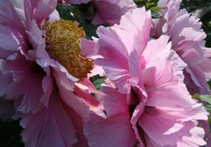 Rose - Strauchrosenblüte Aboretum/Ellerhoop - Werkstatt Bild und Sprache