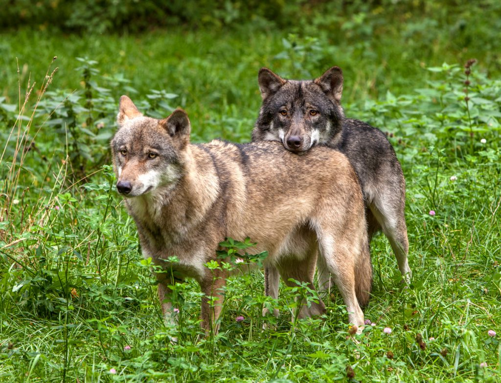 Wildtierpark Eekholt - Wölfe